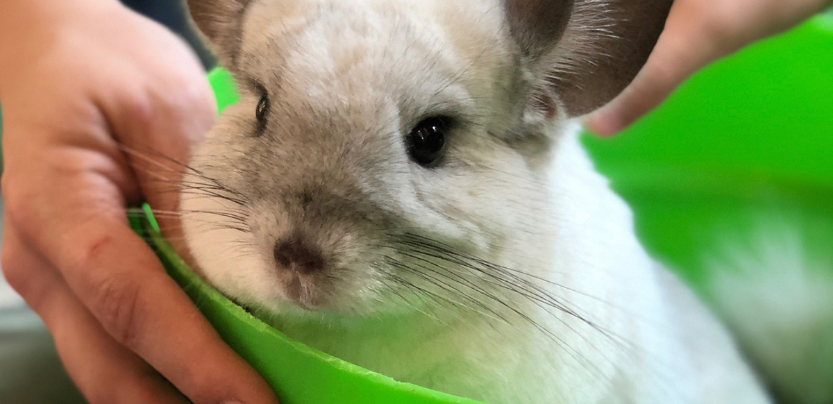 Chinchilla Food and Supplies