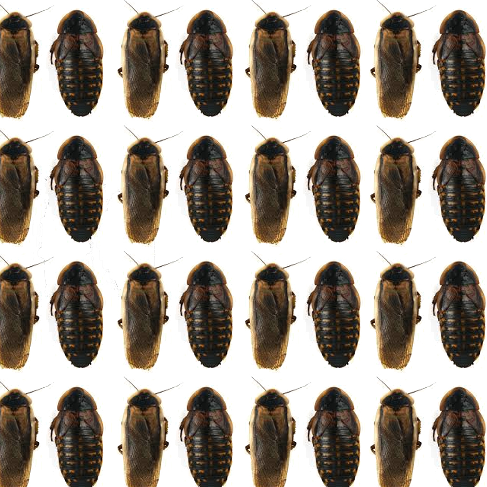 All About the Dubia Roach Shortage